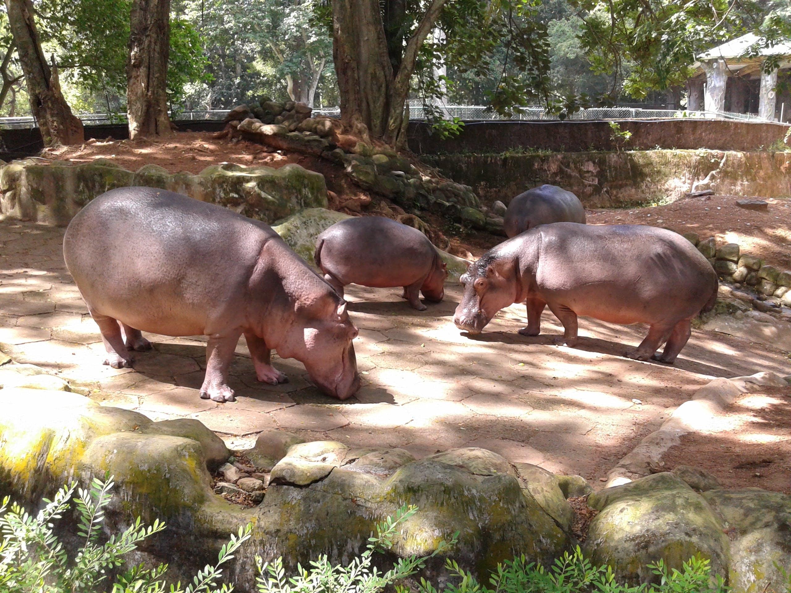Free stock photo of hippopotamus