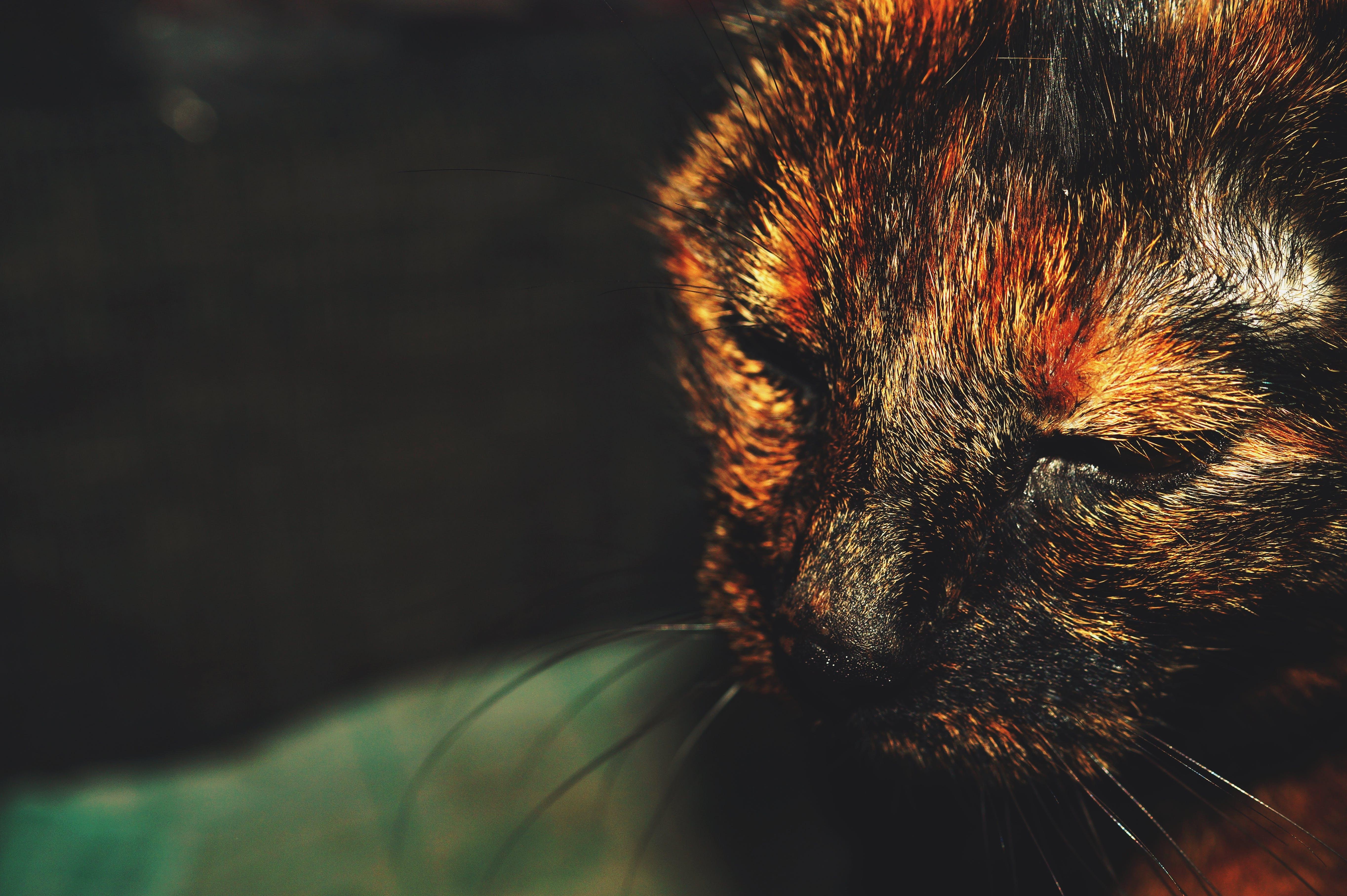 Close-up Photo of Tortoiseshell Cat's Face
