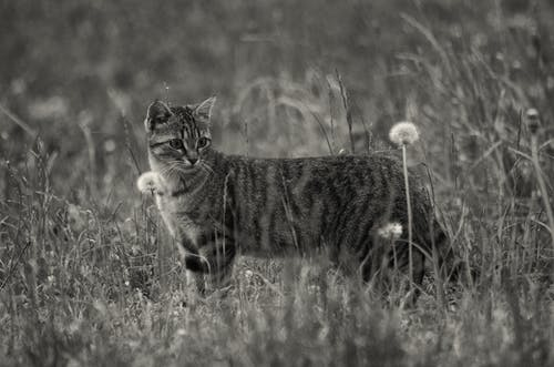 Grayscale Photo of Short Furred Medium Size Cat on the Grass and Flowers