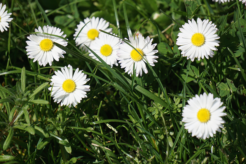 꽃, 꽃이 피는, 꽃잎, 데이지의 무료 스톡 사진