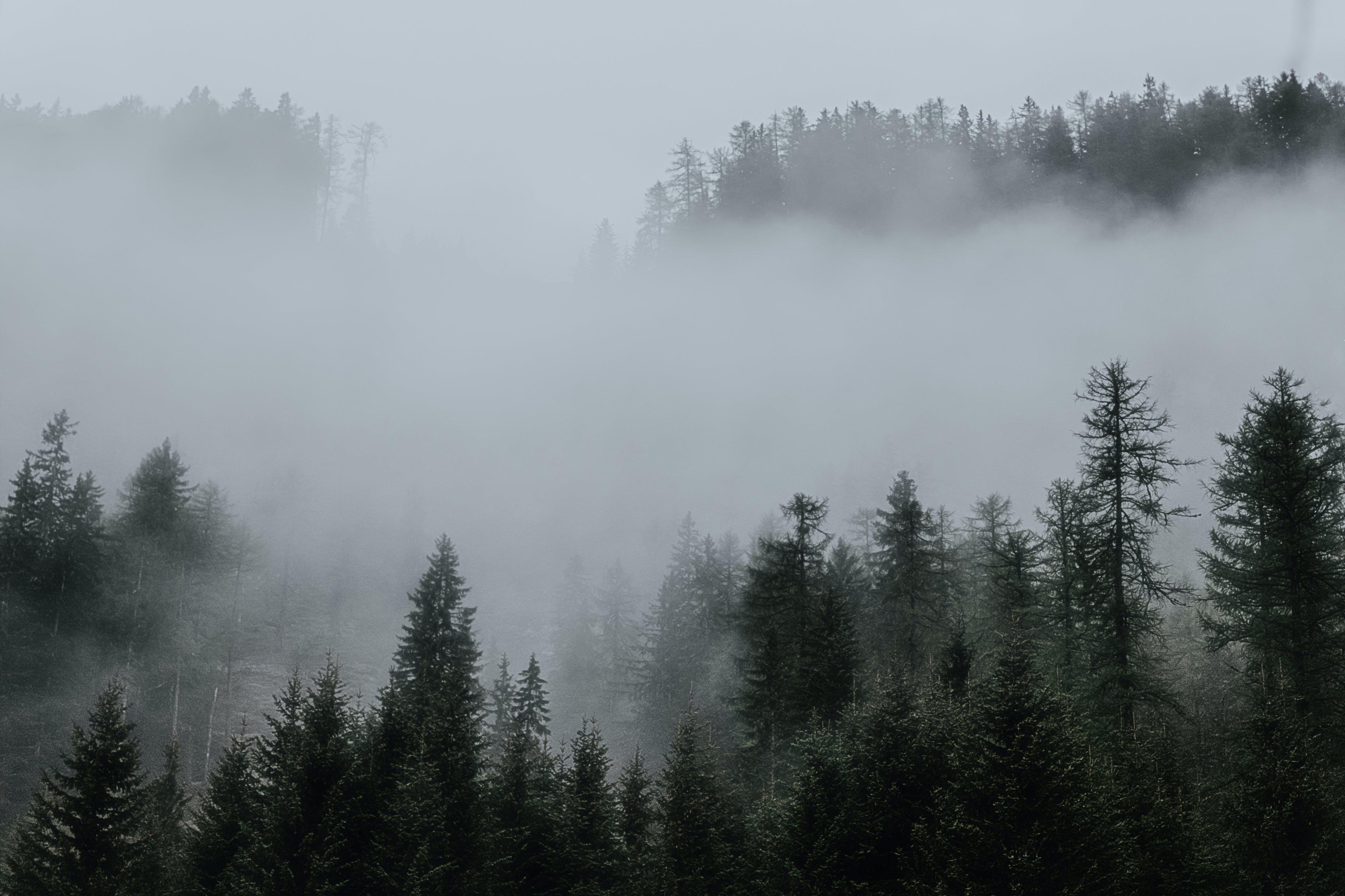 Základová fotografie zdarma na téma HD tapeta, jehličnan, les, mlha