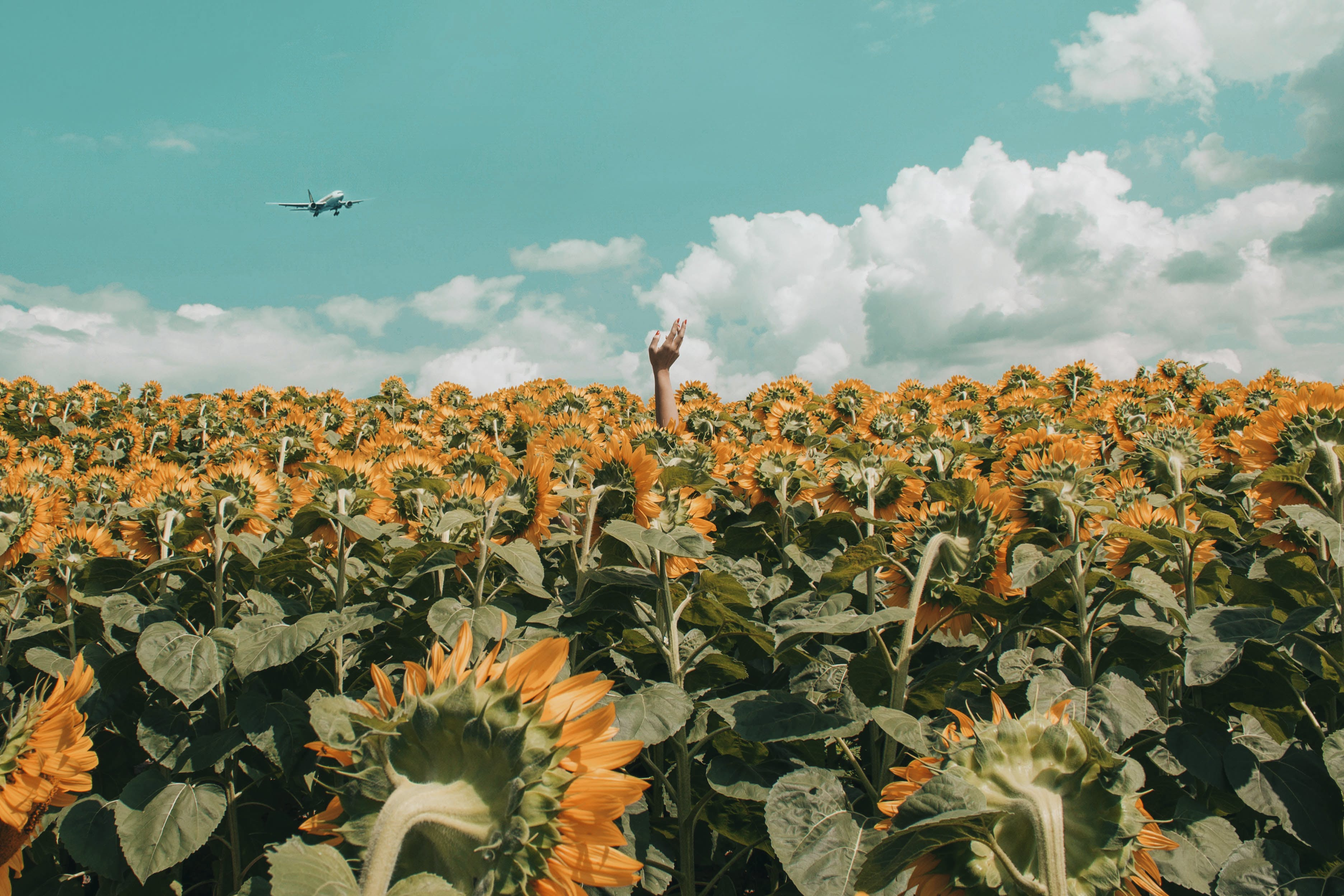 People Rising His Hand in the Middle of Sunflower Field