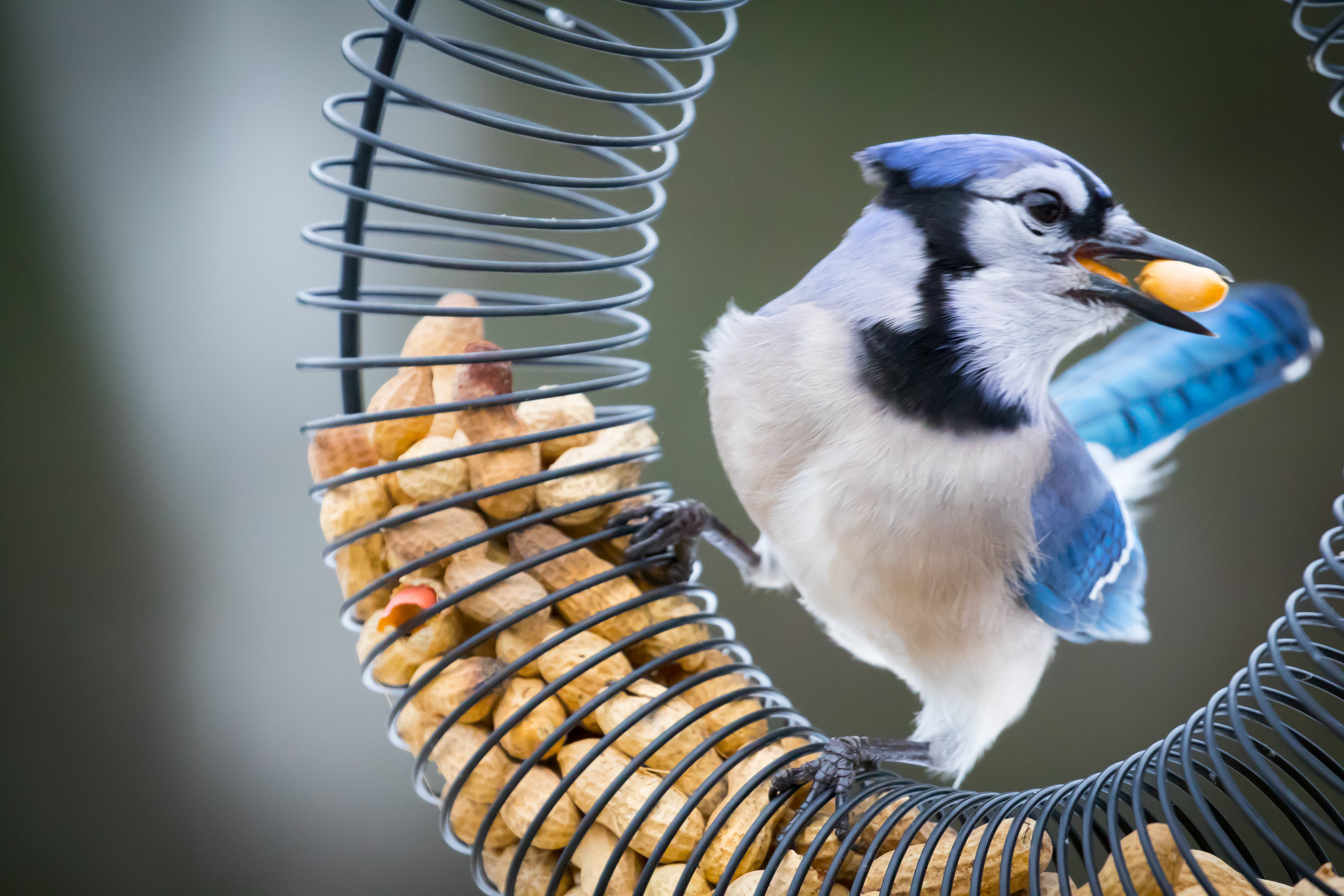 White and Blue Bird Eating Nuts