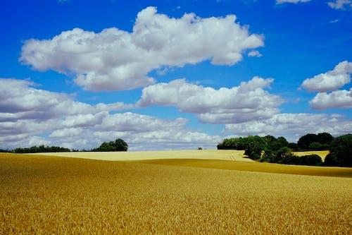 Ảnh lưu trữ miễn phí về bầu trời, cánh đồng, cây, Ngô