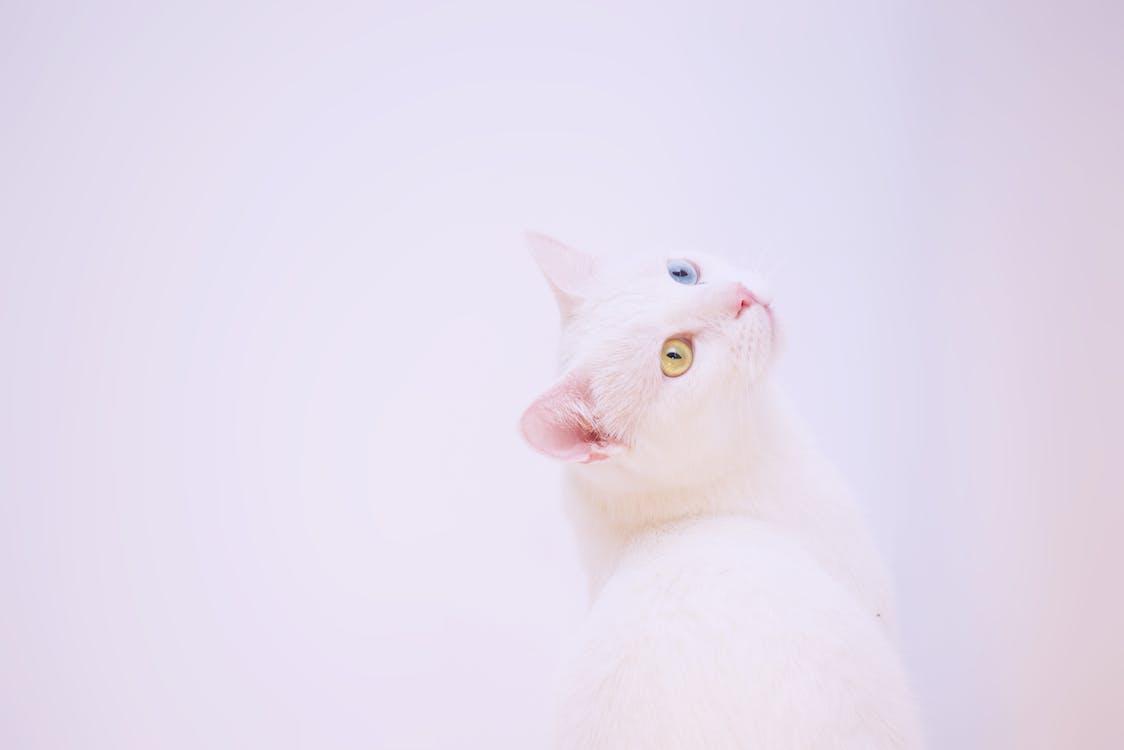 Short-coated White Cat