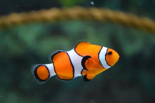 clown fish swimming - Picture Of Fish