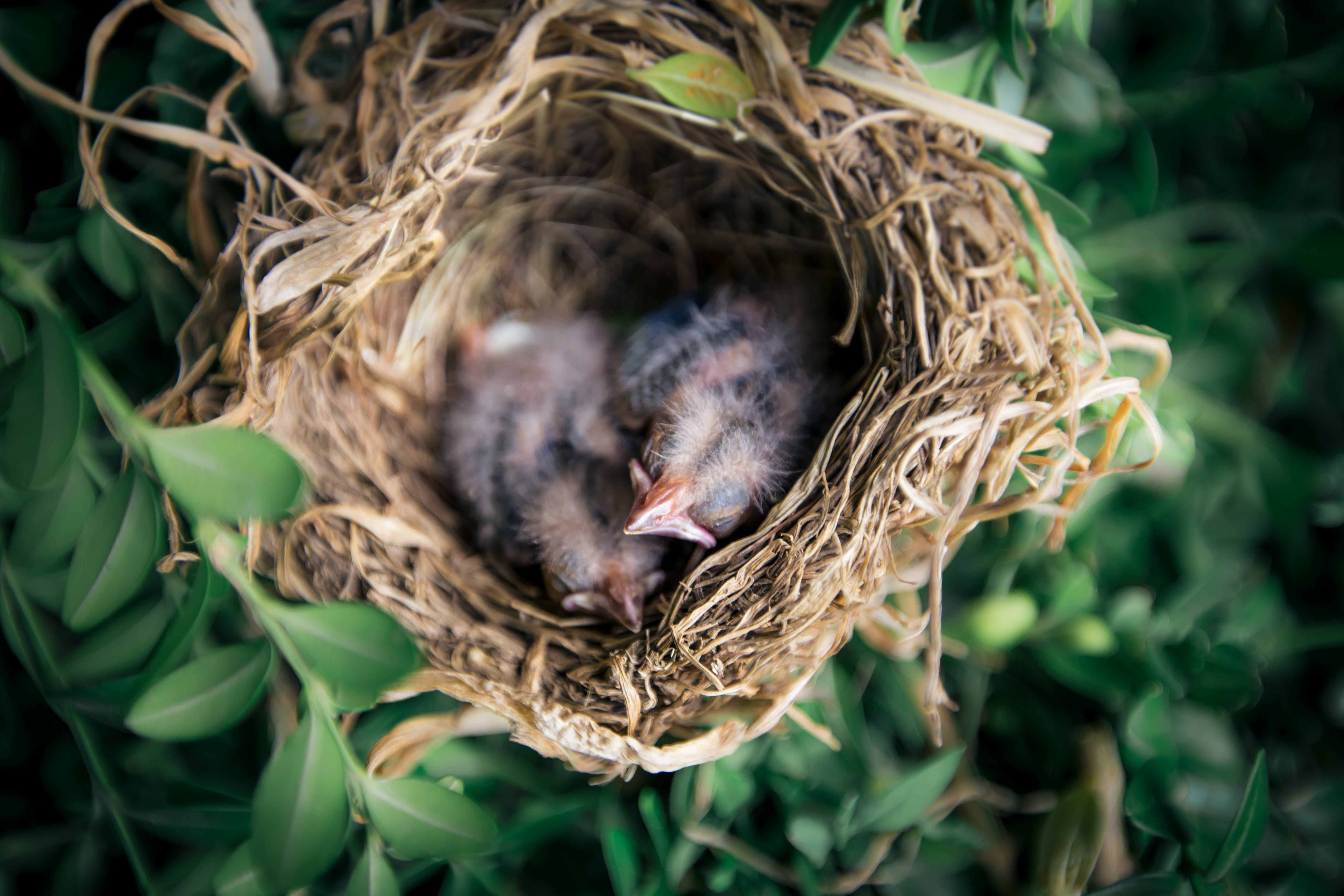 Selective Focus Photography of Two Hatchling Birds in Nest