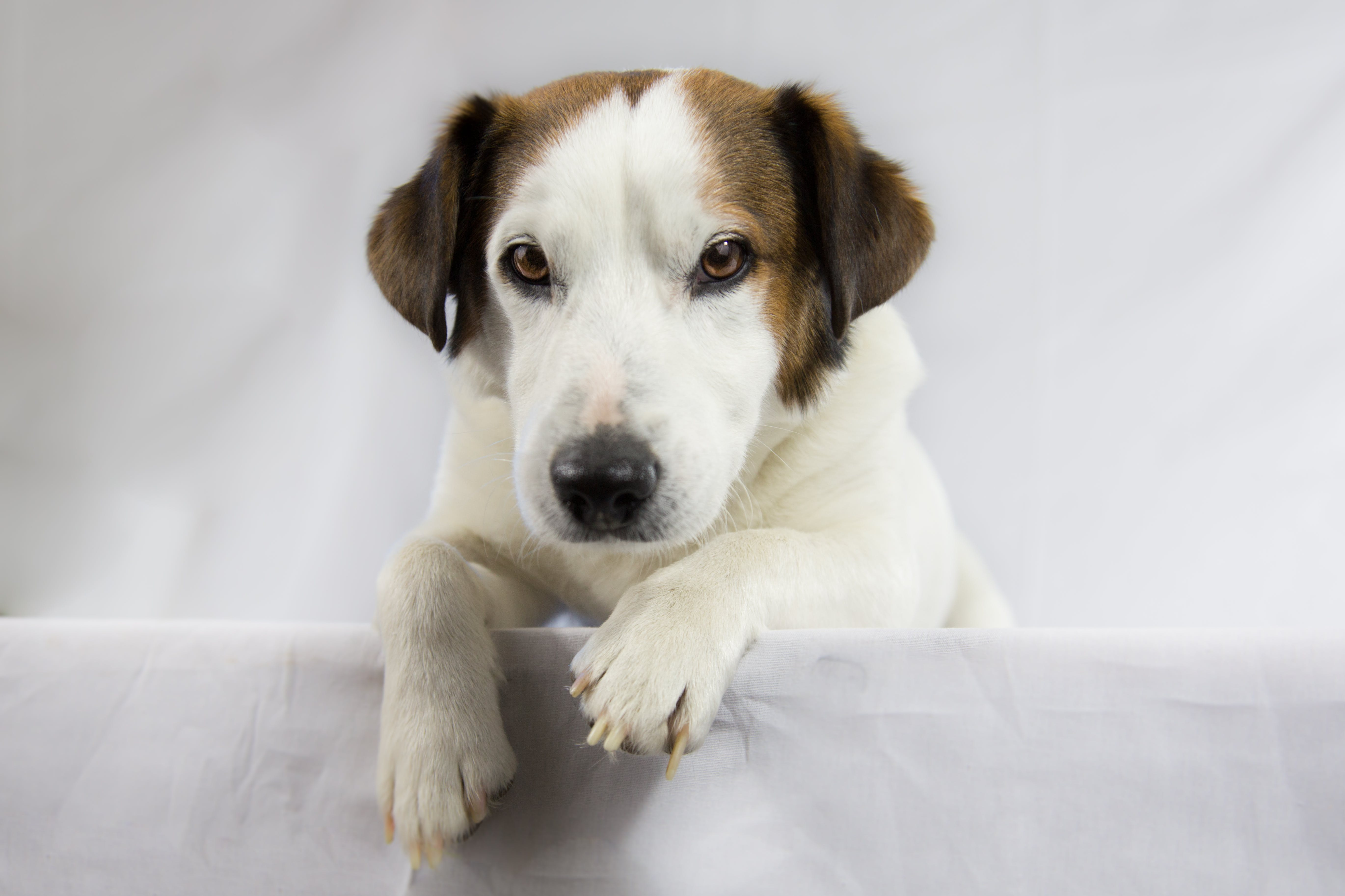 Adult White and Brown Jack Russell Terrier