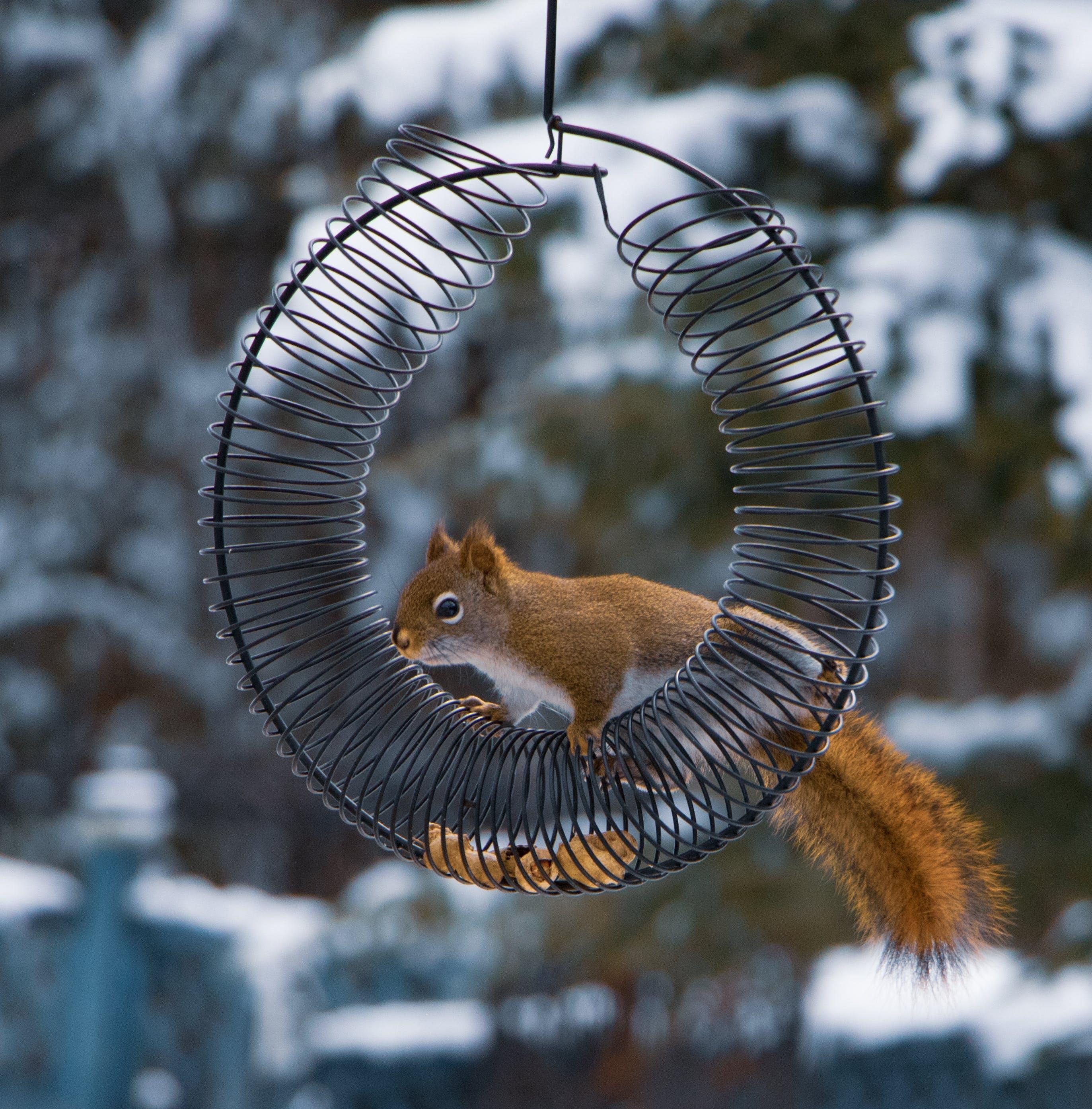 Kostenloses Stock Foto zu braun, draußen, eichhörnchen, farbe