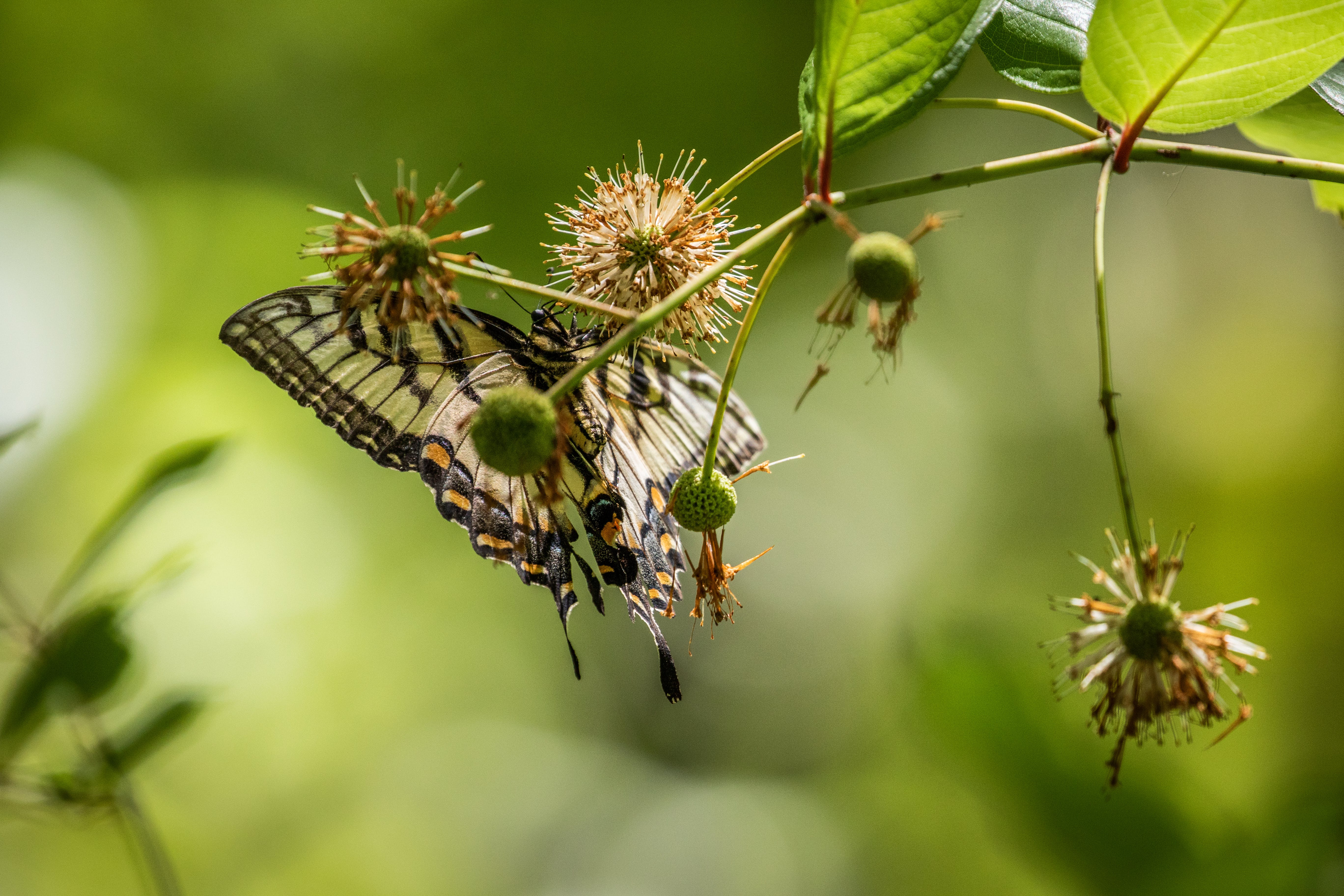 Selective Focus Photography of Tiger Swallowtail Butterfly Perched on Brown Flower
