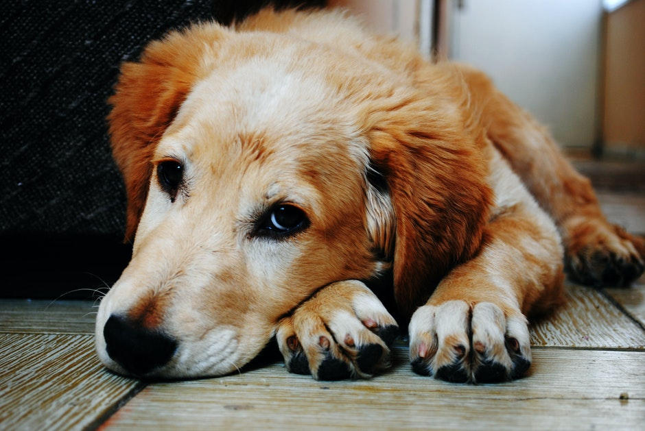 Tan and White Short Coat Dog Laying Down in a Brown Wooden Floor
