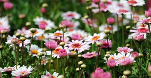 Gratis lagerfoto af bane, blomster, blomsterknopper, blomstrende