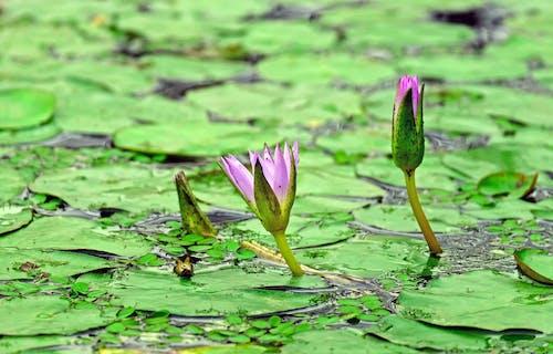 Ingyenes stockfotó növényvilág, tavacska, természet, virágbimbó témában