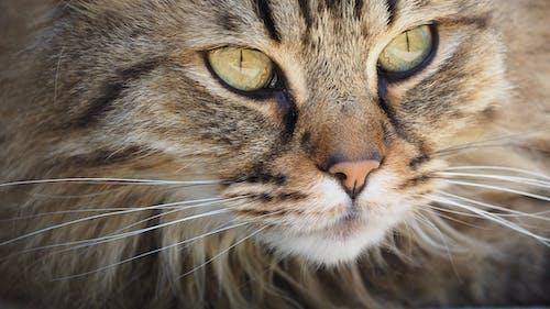 Fotos de stock gratuitas de animal, animal domestico, bigotes, felino