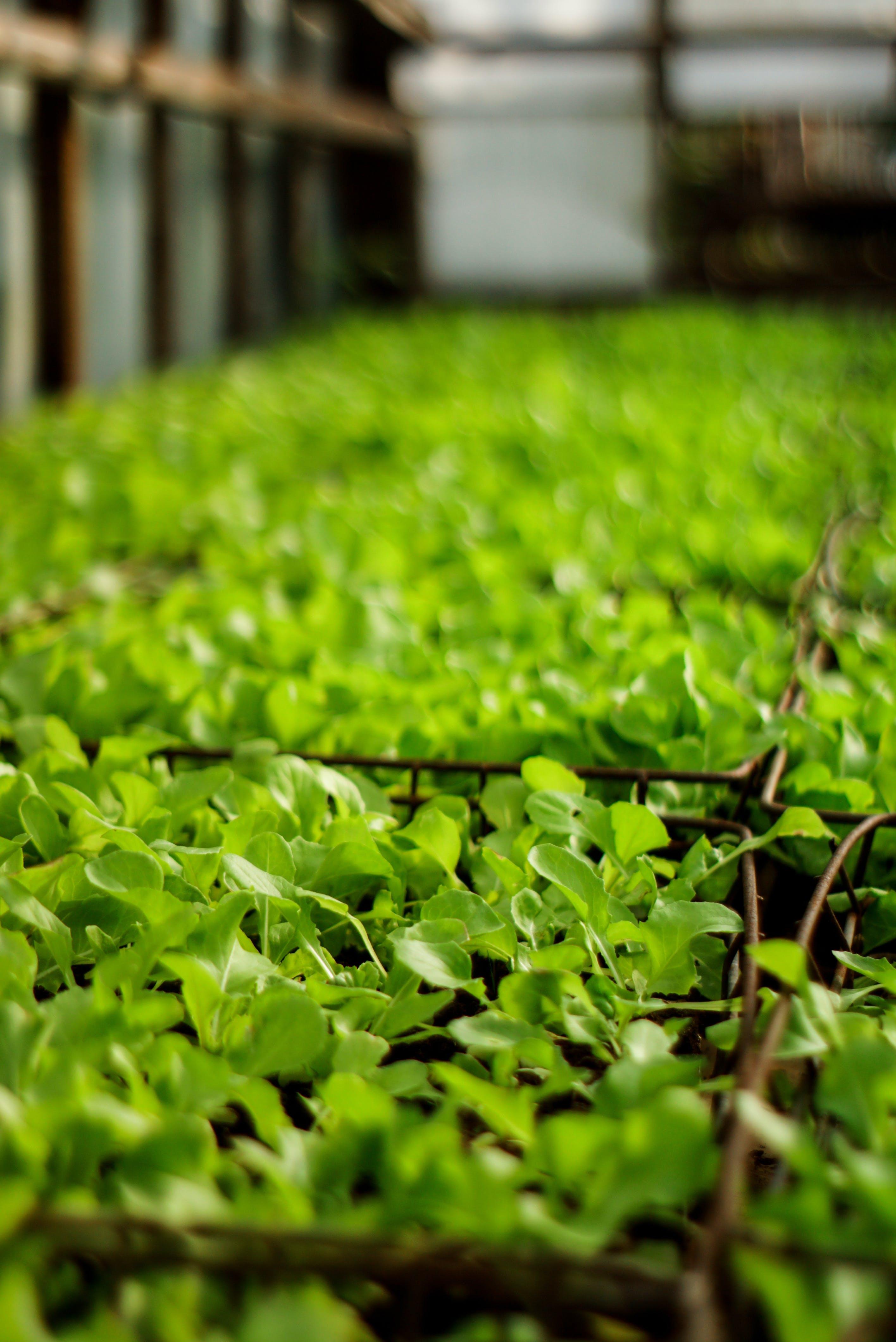 Kostenloses Stock Foto zu dunkelgrüne pflanzen, gartenarbeit, grüner salat, pflanzen