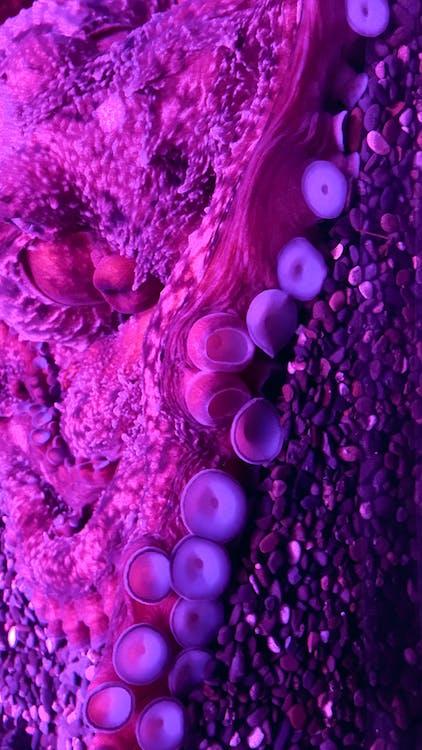 chobotnice, růžové pozadí, tapeta
