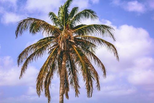 Бесплатное стоковое фото с дерево, идиллический, кокосовая пальма, небо