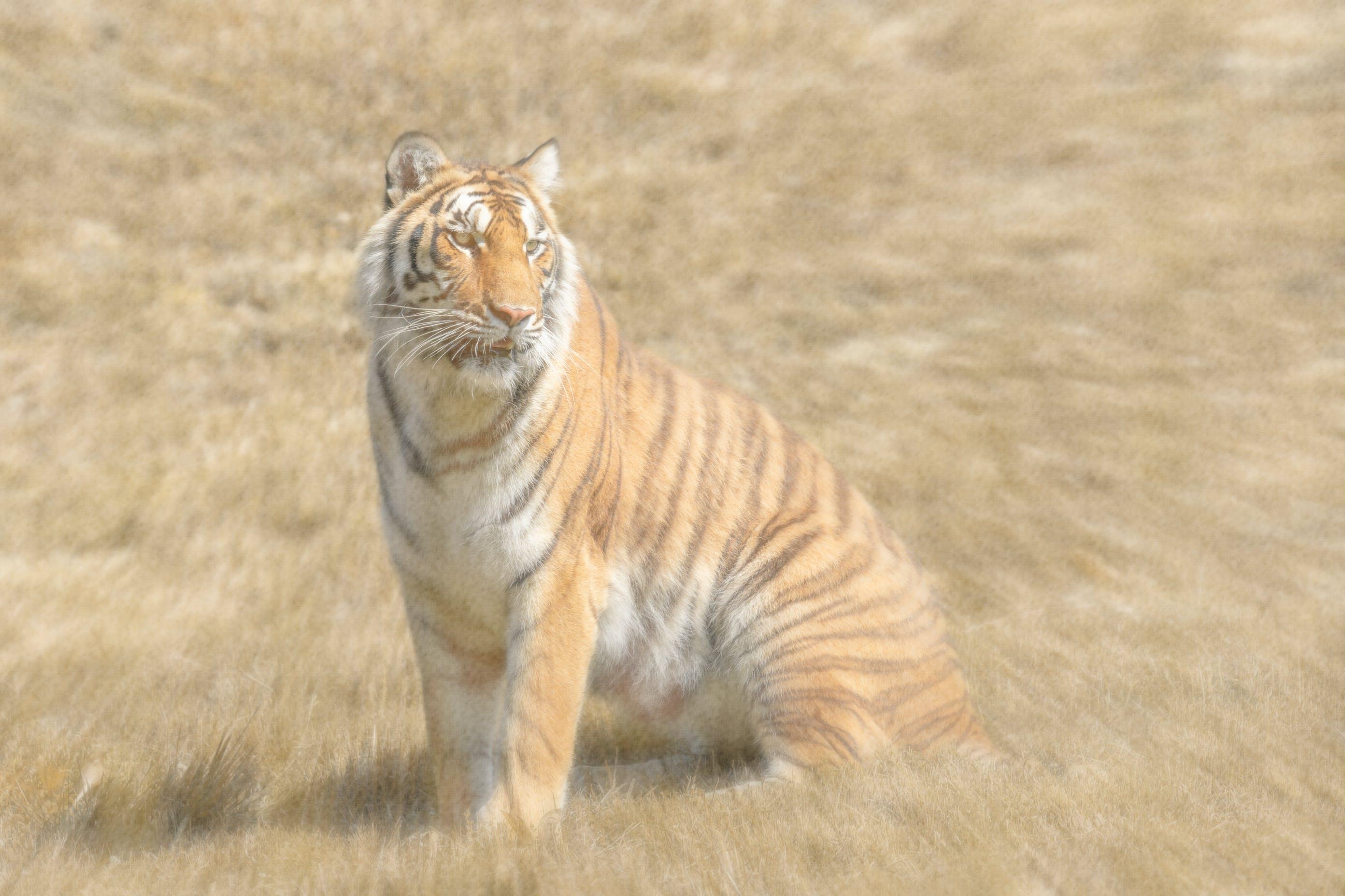 #natur, #tierwelt, #tiger