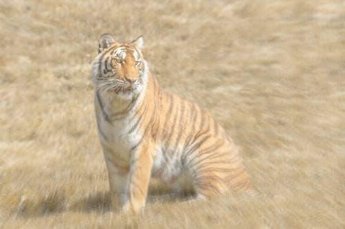 Immagine gratuita di #natura, #tigre, #wildlife