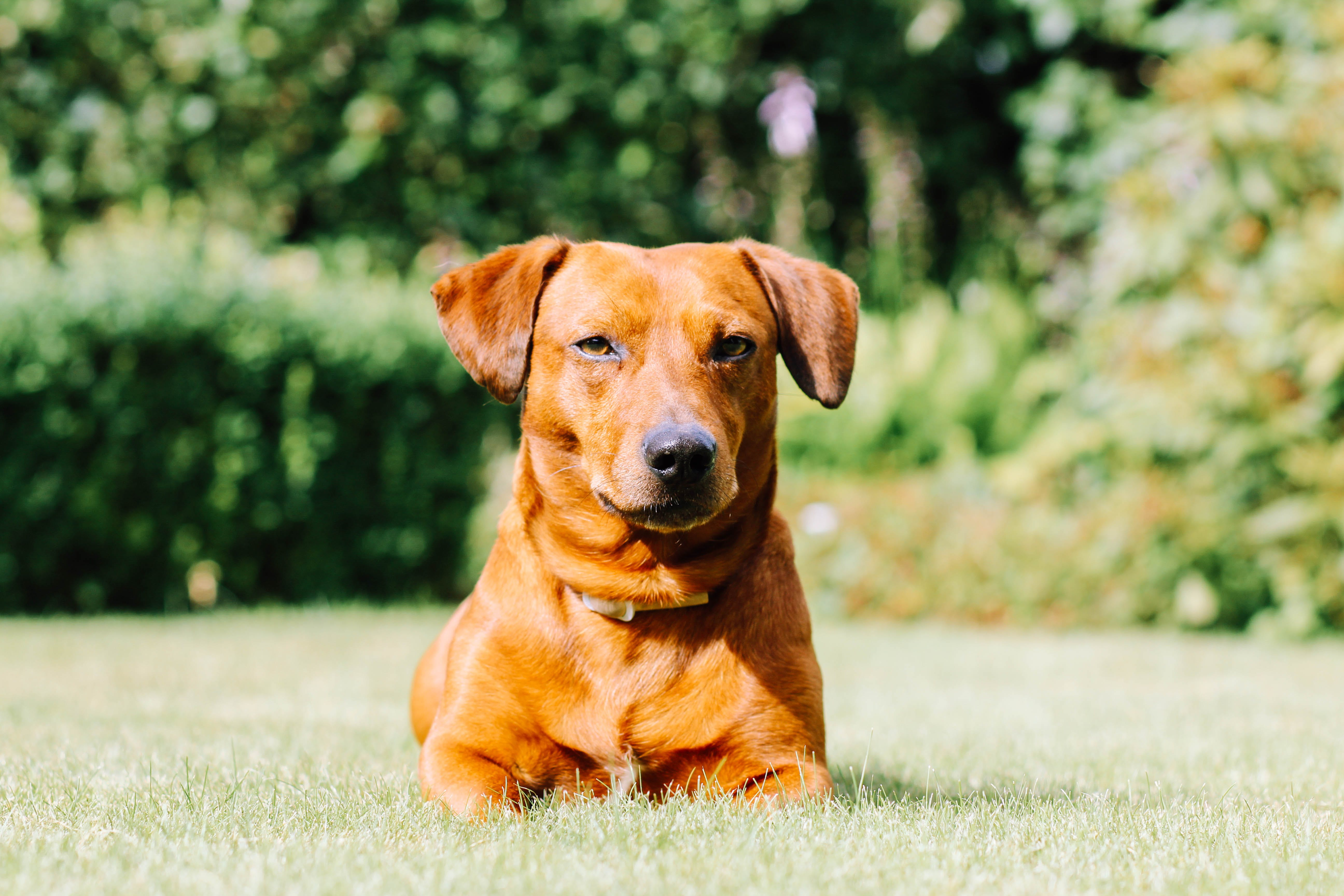 Selective Focus Photo of Red Dog on Grass Field