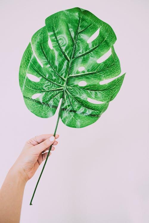 Osoba Trzymająca Zielonych Liści Roślin