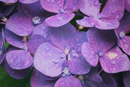 Фиолетовые Гортензии