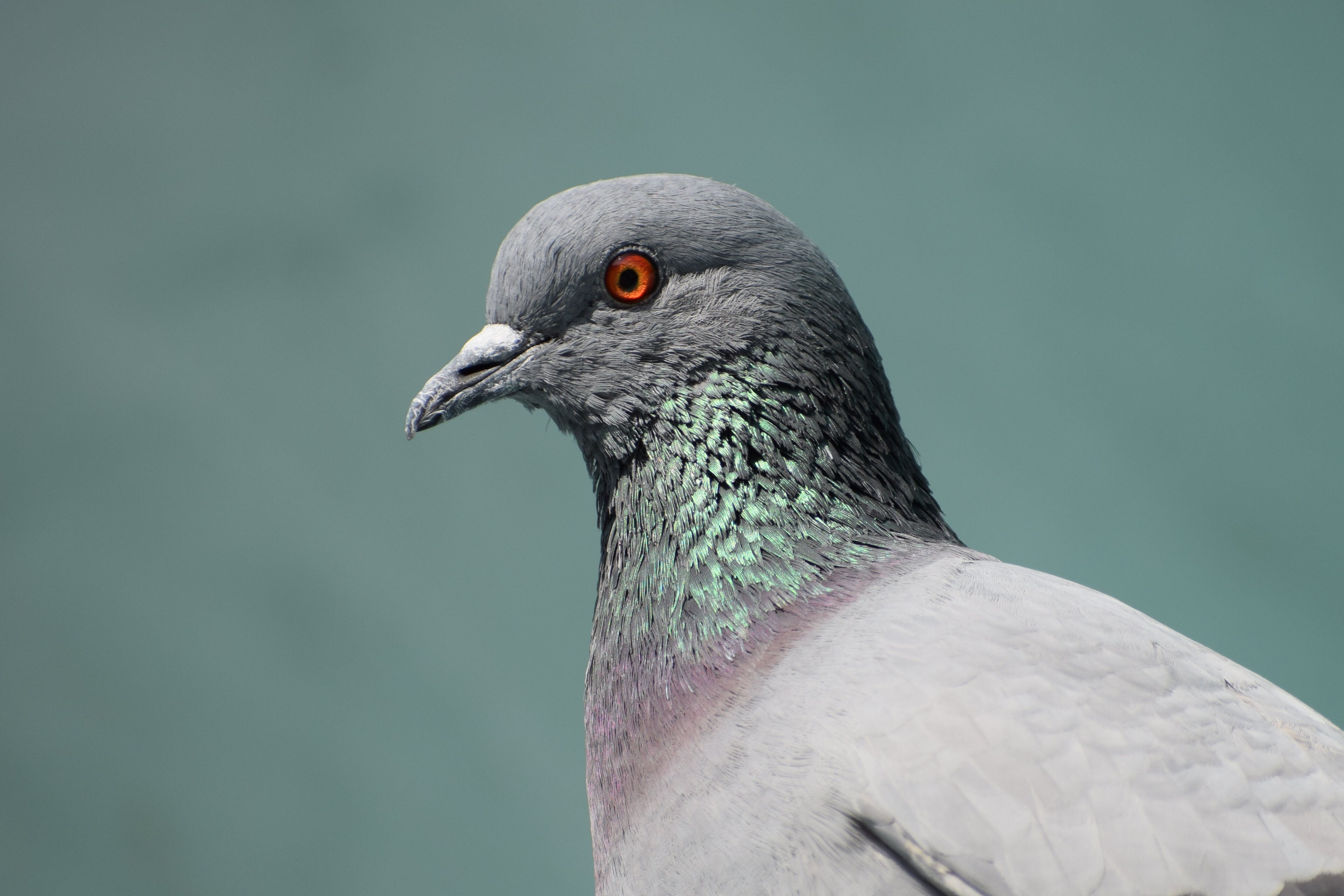 Gray Pigeon on Close Up Photography