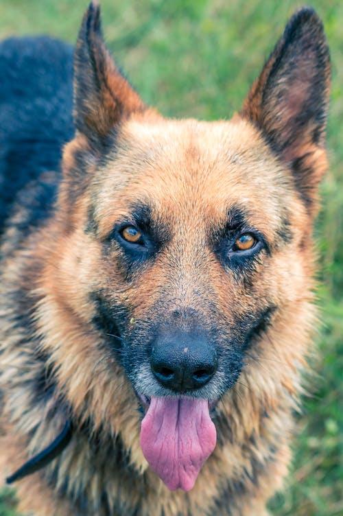 Gratis lagerfoto af hund, Rumænien, schæferhund, våd hund