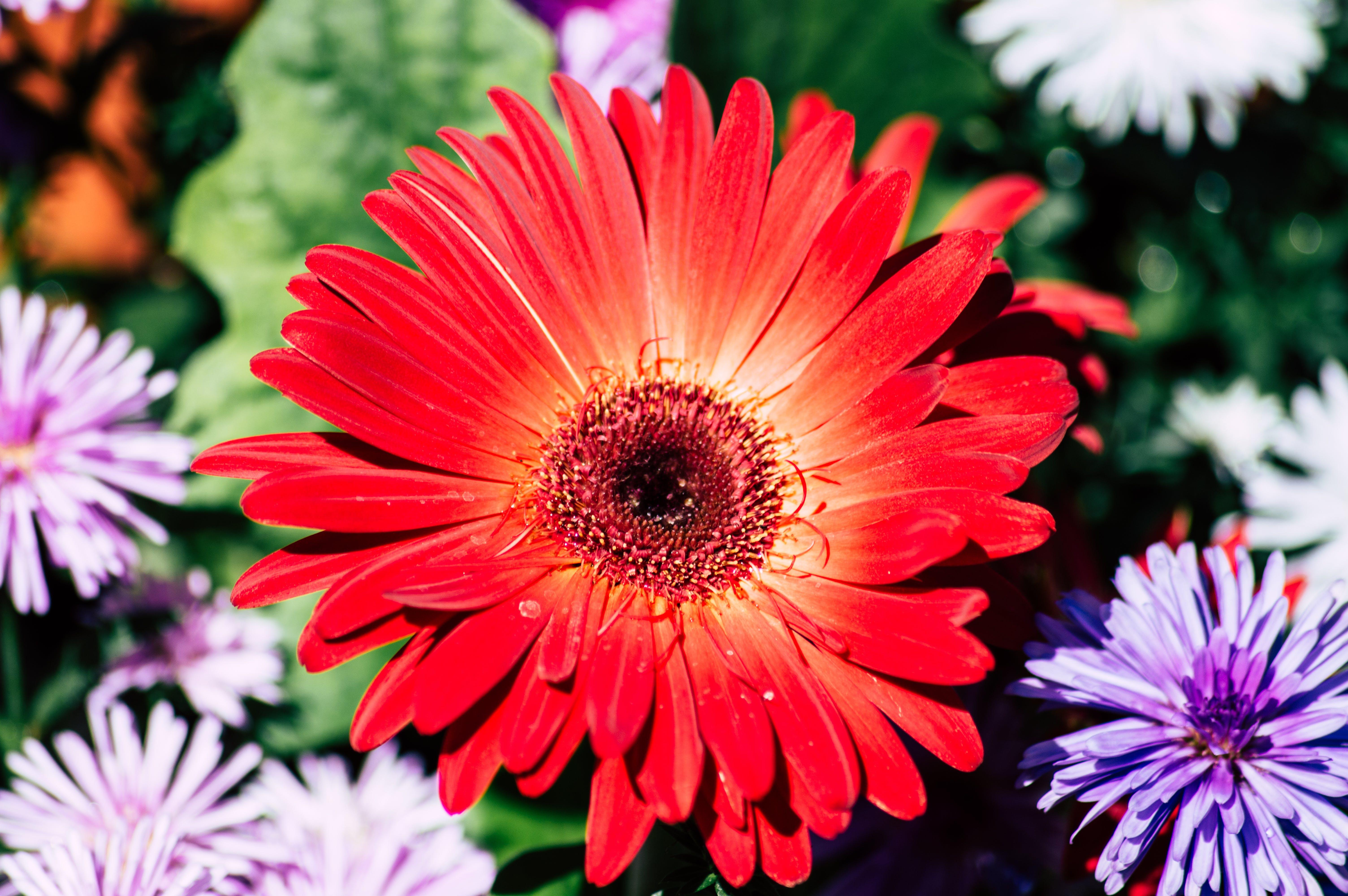 Δωρεάν στοκ φωτογραφιών με έντονο χρώμα, κόκκινο, λουλούδι, μοβ