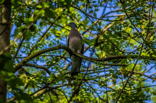 Free stock photo of blue sky, green, natur, pigeon