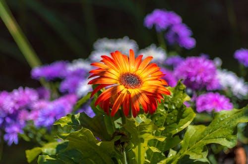 Gratis lagerfoto af blomsterhave, grønne blade, Orange blomst