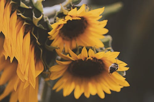 Honey Bee About to Perch on Yellow Sunflower