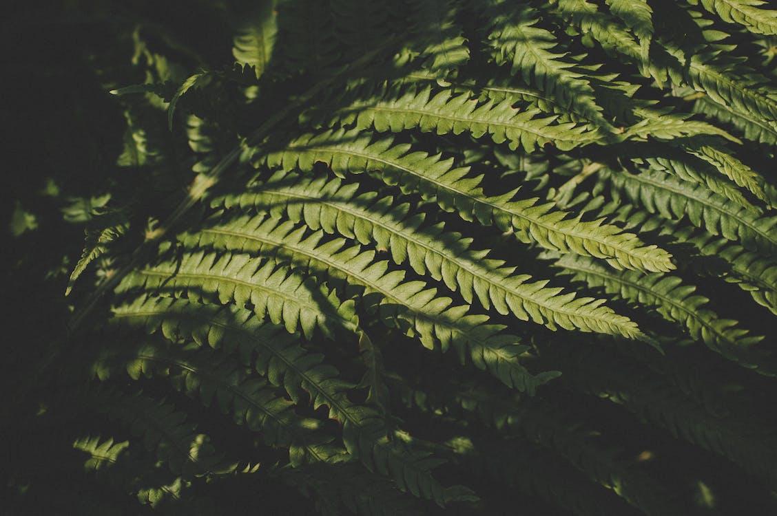 creștere, ferigă, frunză