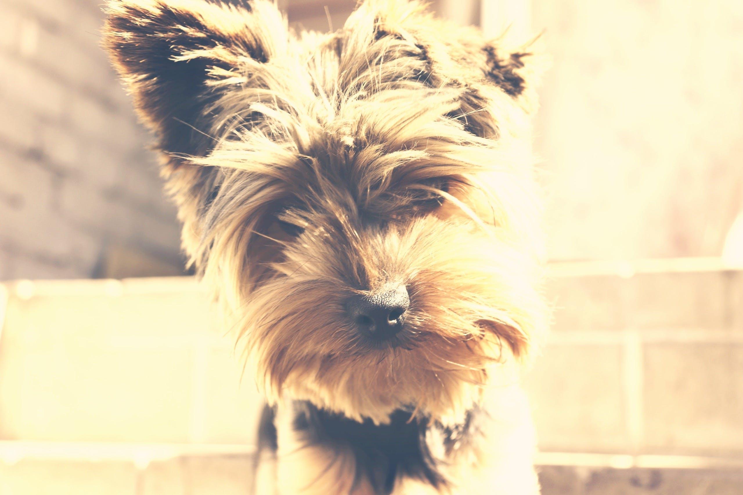 Základová fotografie zdarma na téma jorkšírský teriér, pes, roztomilý, zvíře