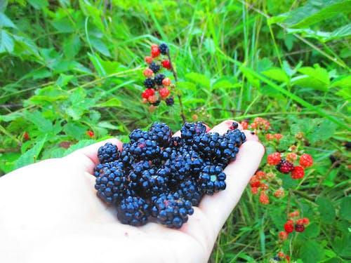 Immagine gratuita di autosufficiente, blackberry, foraggiamento, frutti di bosco