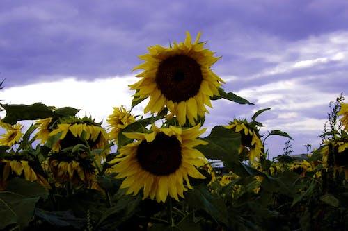 Kostenloses Stock Foto zu sonnenblumen