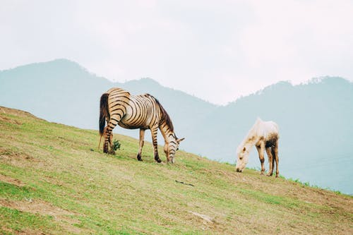Zebra and Horse Grazing