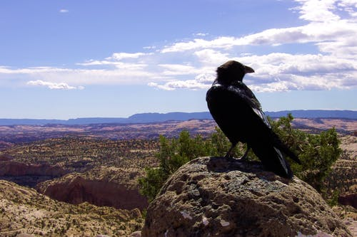 Kostenloses Stock Foto zu krähe, rabe, wüste