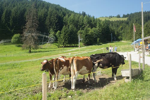 Free stock photo of cows, mountain, Switrzerland