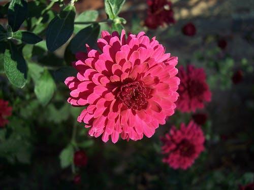 Gratis arkivbilde med rosa blomst