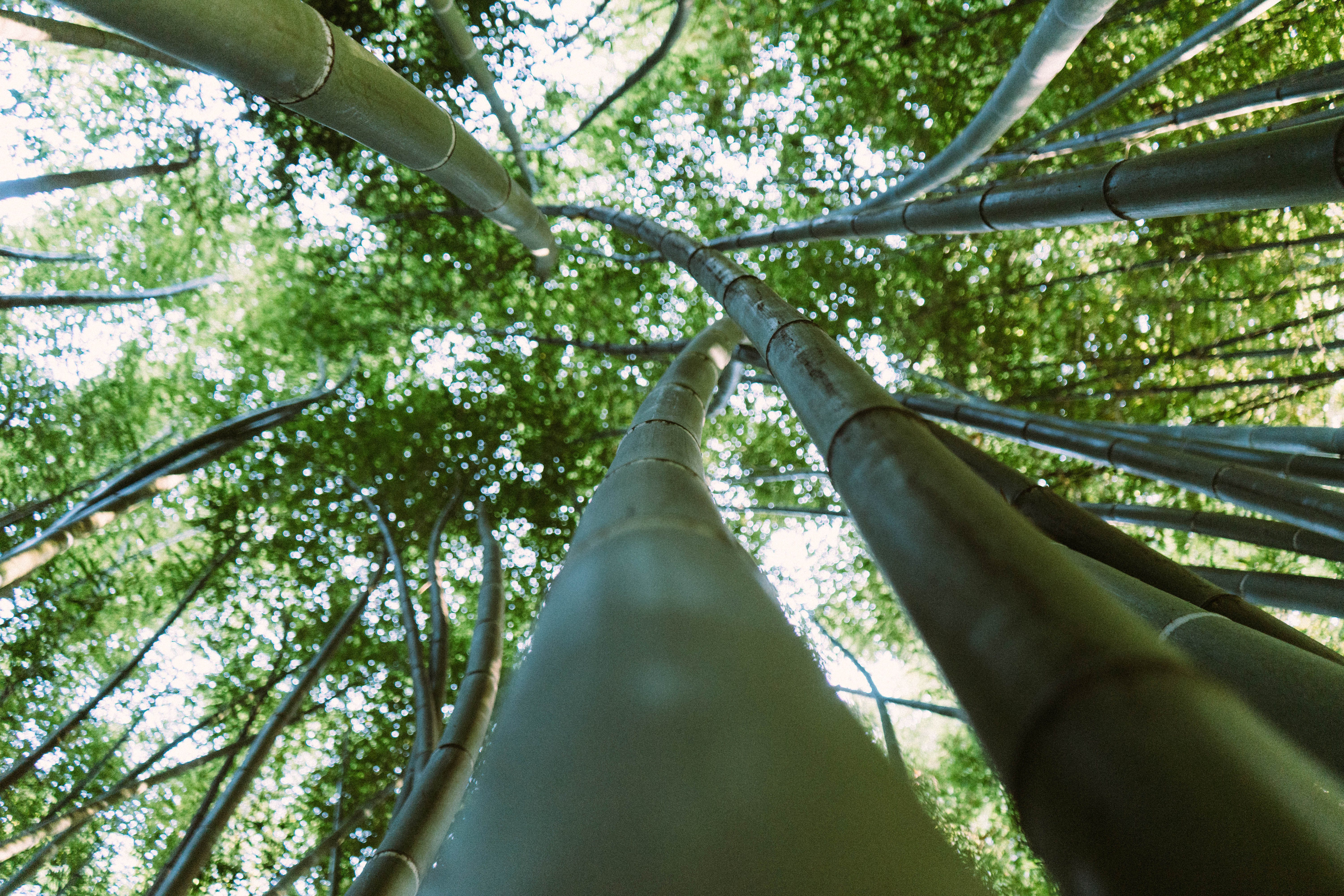 Forest of Bamboo Trees