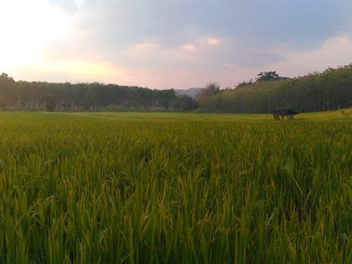 Photos gratuites de calme, nature, paysage, rizière