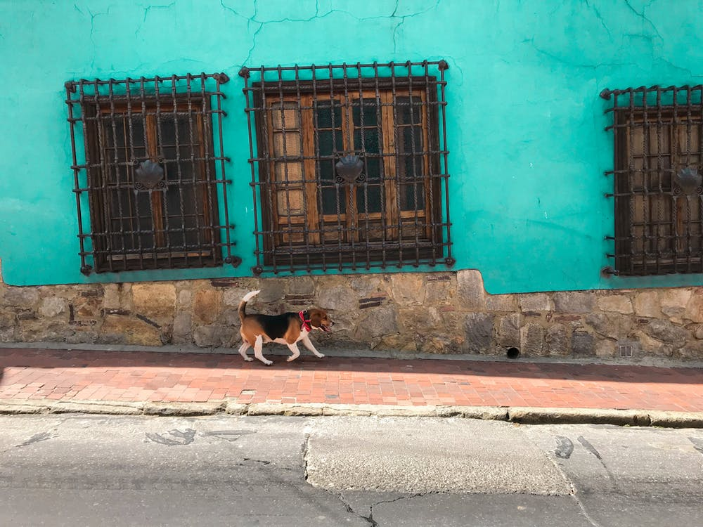 Adult Tri-colored Beagle Walking on Sidewalk Beside Green Concrete Building Across the Street Photo