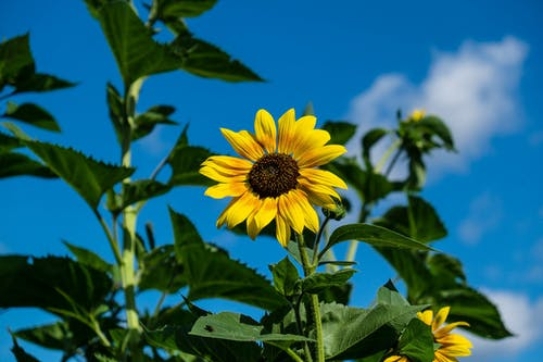 Yellow Sunflower Closeup Photography
