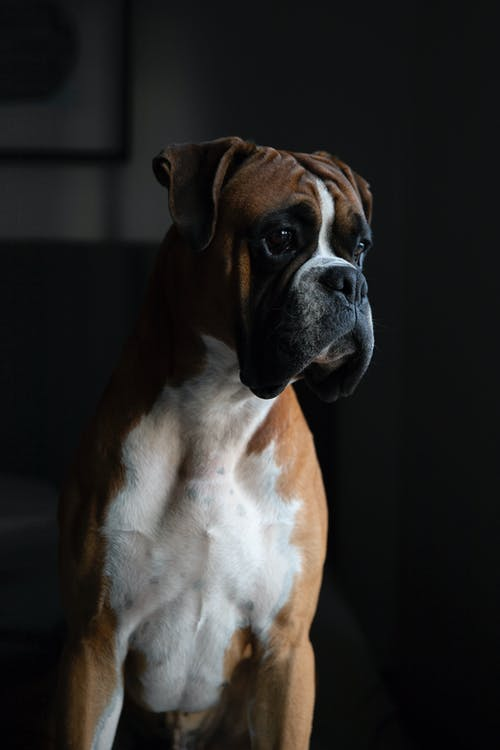 Closeup Photography of Tan and White Boxer