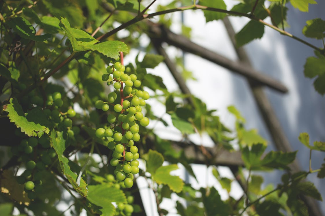 alam, anggur, buah