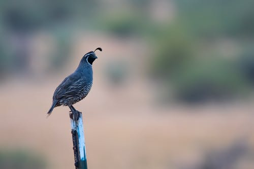 Gray Quail on Top of White Stick