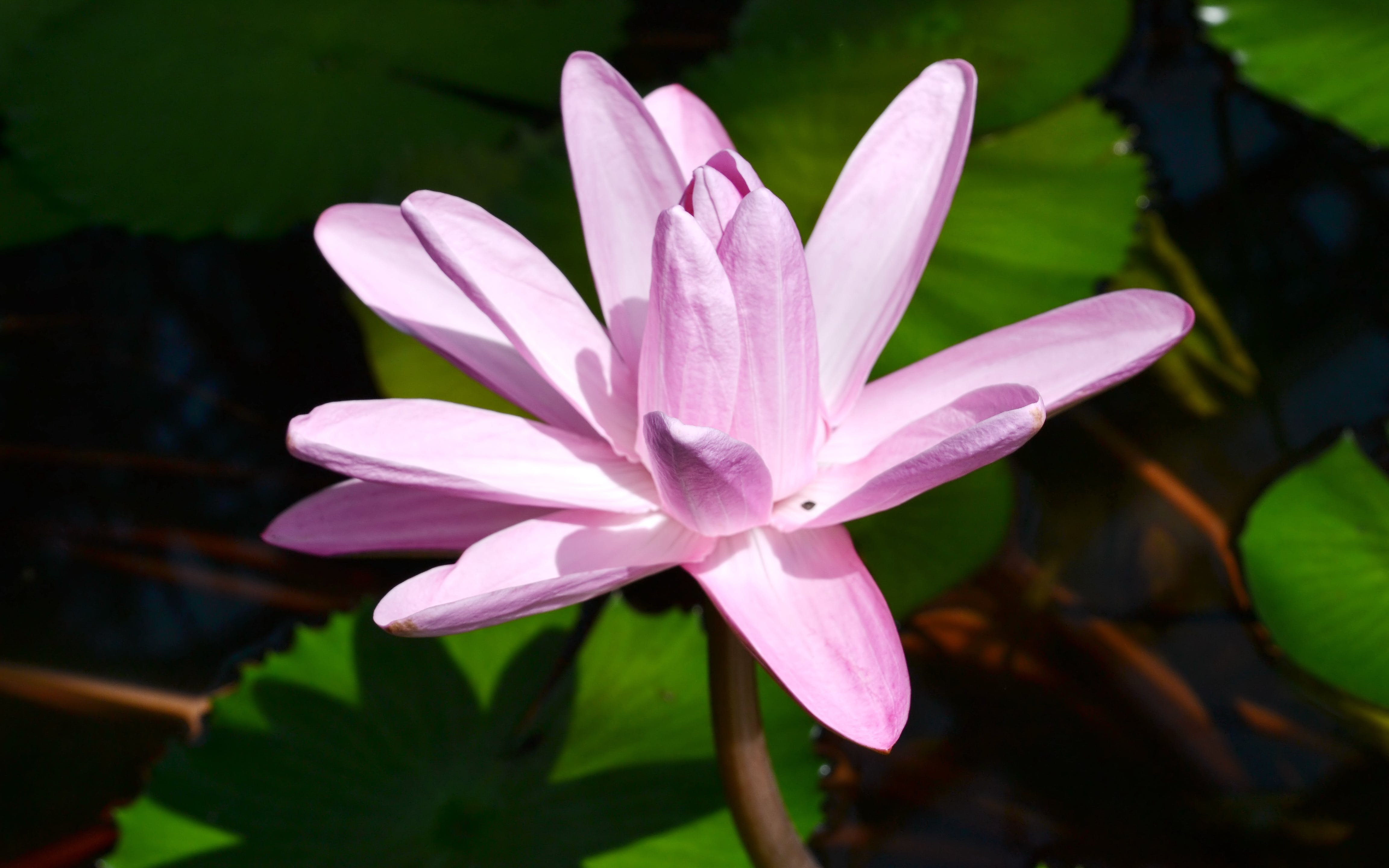 Closeup Photography of Pink Lotus Flower