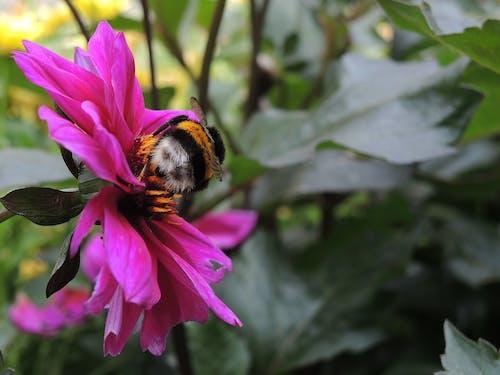 Foto d'estoc gratuïta de abella, flor, insecte, natura