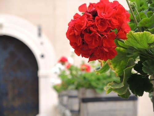 Foto d'estoc gratuïta de flors, roses, vermell